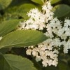 Bodza: antioxidáns, mégis mérgező