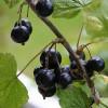 Fekete áfonya, antioxidáns gyümölcsként